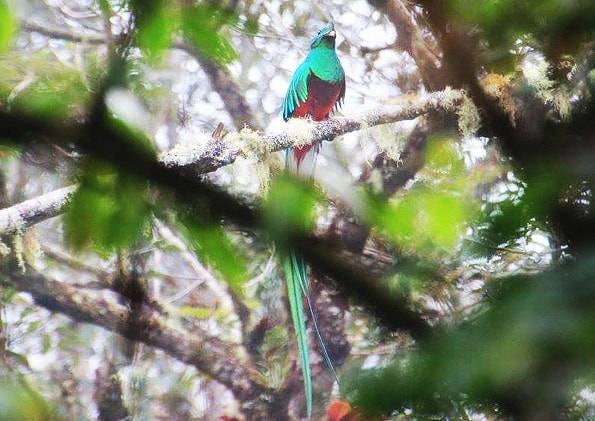 """コスタリカで見た幻の鳥""""ケツァール"""""""