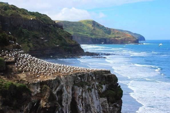 ニュージーランド・オークランドのムリワイビーチ・カツオドリ群生地 (Muriwai Gannet Colony)